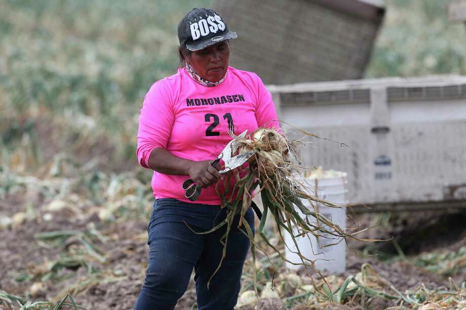 A field worker harvests onions at a field near Hargill, Texas. Crops throughout the Rio Grande Valley sustained widespread damage due to the recent low temperatures. Farmers were still assessing the damage. Photo: Jerry Lara, Staff / San Antonio Express-News / **MANDATORY CREDIT FOR PHOTOG AND SAN ANTONIO EXPRESS-NEWS/NO SALES/MAGS OUT/TV   © 2019 San Antonio Express-News