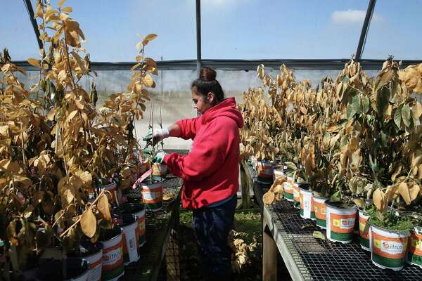 Azucena Izaguirre salvages Mexican thornless lime plants at U.S. Citrus in Hargill, Texas, Tuesday, Feb. 22, 2021. Crops throughout the Rio Grande Valley sustained widespread damage due to the recent low temperatures. Farmers were still assessing the damage.