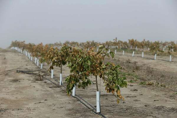 Citrus trees show freeze damage at an orchard near Hargill, Texas, Tuesday, Feb. 22, 2021. Crops throughout the Rio Grande Valley sustained widespread damage due to the recent low temperatures. Farmers were still assessing the damage.