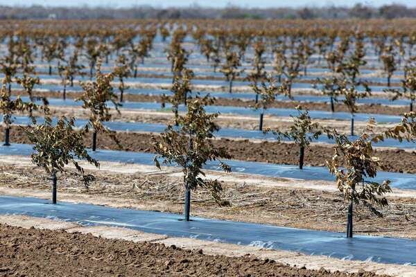 Freeze-damaged citrus trees are seen Wednesday, Feb. 24, 2021, near Edinburg in Hidalgo County. An estimated $300 million in citrus fruit has been destroyed due to last week's state-wide, multi-day deep freeze. Final damage totals will come once farmers can determine how much damage their trees received and how many can be saved.