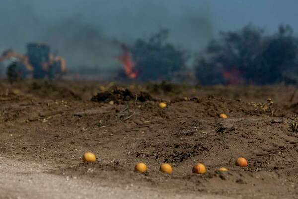 Grapefruits sit on the ground Wednesday, Feb. 24, 2021, near Hargill in Hidalgo County as citrus trees are burned in the background. An estimated $300 million in citrus fruit has been destroyed due to last week's state-wide, multi-day deep freeze.