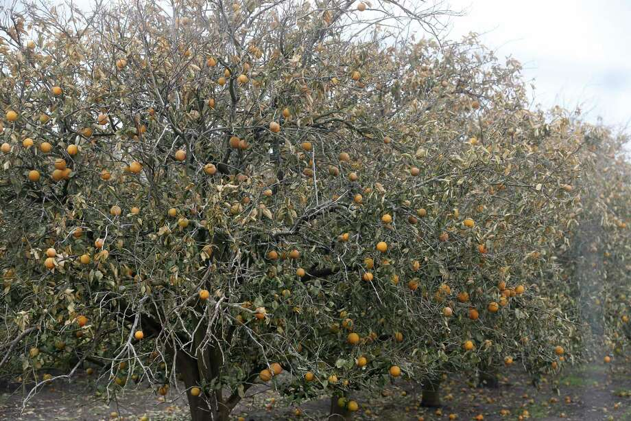 Orange trees show freeze damages at an orchard northeast of Hargill, Texas, Tuesday, Feb. 23, 20201. Crops throughout the Rio Grande Valley sustained widespread damage due to the recent low temperatures. Farmers were still assessing the damage. Photo: Jerry Lara, Staff / San Antonio Express-News / **MANDATORY CREDIT FOR PHOTOG AND SAN ANTONIO EXPRESS-NEWS/NO SALES/MAGS OUT/TV   © 2019 San Antonio Express-News