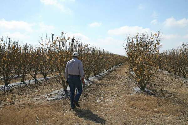 Mani Skaria, founder and CEO of U.S. Citrus, walks to check his Persian lime orchard at his farm in Hargill, Texas, Tuesday, Feb. 23, 2021. Crops throughout the Rio Grande Valley sustained widespread damage due to the recent low temperatures. Farmers were still assessing the damage. Skaria farms on close to 200 acres but has developed techniques that allows him to plant at a 1,200-acre density. Half of his acreage is Persian lime. He expects loses in the millions.