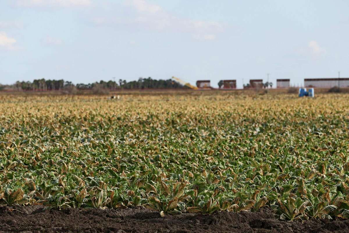 Crops show freeze damage on a field along U.S. 281 south of Alamo, Texas, Tuesday, Feb. 24, 2021. Crops throughout the Rio Grande Valley sustained widespread damage due to the recent low temperatures. Farmers were still assessing the damage.