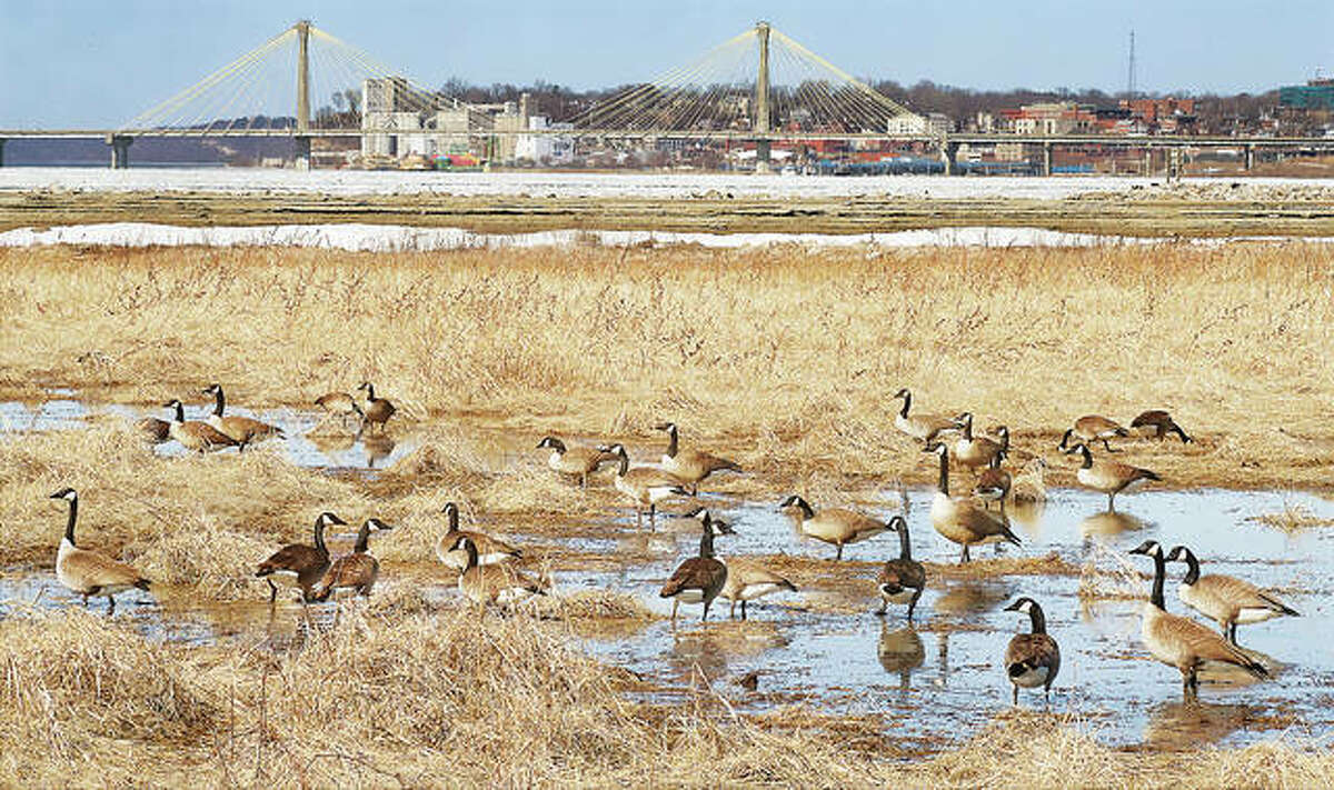 A group of Canada geese gather in the wet, marshy area near Alton Lock and Dam 26 Wednesday. February through April is the mating season for Canada geese, who seek out brushy areas near water like this one.