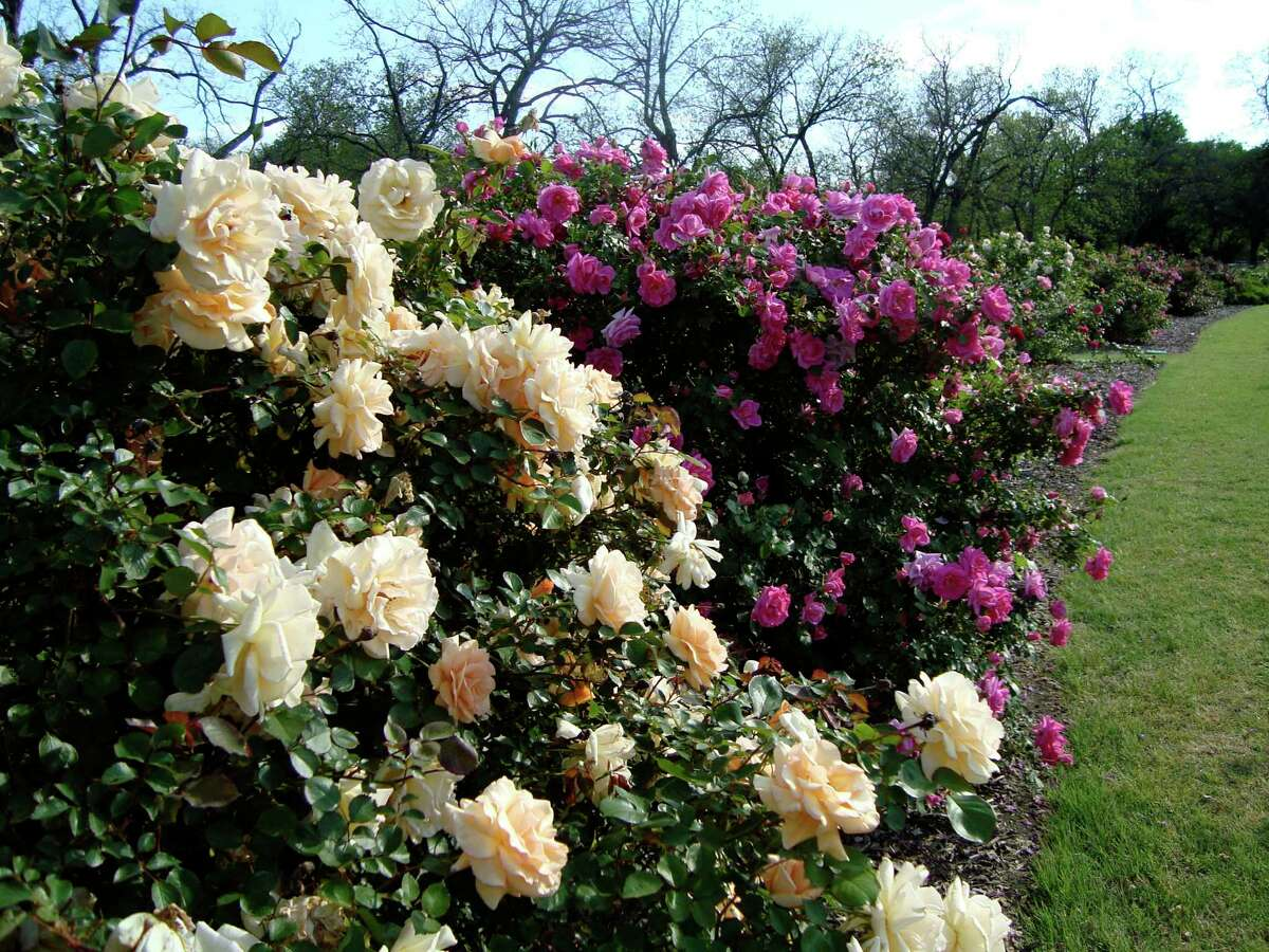 The Houston Rose Society recommends roses grown at the Earth-Kind Rose Research Trial in Farmers Branch. Earth-Kind landscaping is designed to minimize four major environmental problems: water use, fertilizer use, pesticide use and yard waste. (