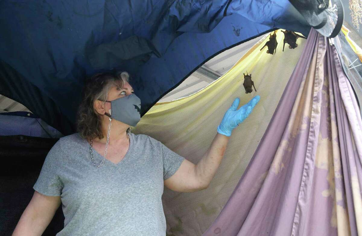 Michelle Camara, owner of Southern Wildlife Rehab, reaches up for one of several bats taking shelter inside a tent at the rehab facility. Camara has been providing shelter, food and medical care for hundreds of the tiny bats that were hurt during the city's prolonged freezing weather.