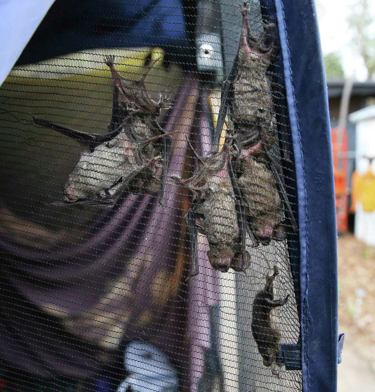 Several Mexican free-tailed bats hang from netting inside a pop-up shelter at Southern Wildlife Rehab, where volunteers are caring for the mammals. Hundreds had to be rescued after they became so cold during the recent prolonged freezing weather that they fell from their shelter under bridges and other high places.
