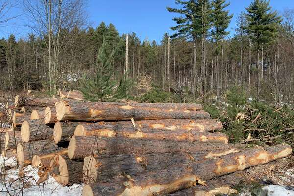While not invasive, red pine was harvested on two parcels of land owned by Frankfort-Elberta Area Schools in January due to being damaged by winds and pine bark beetles/ (Courtesy Photo)