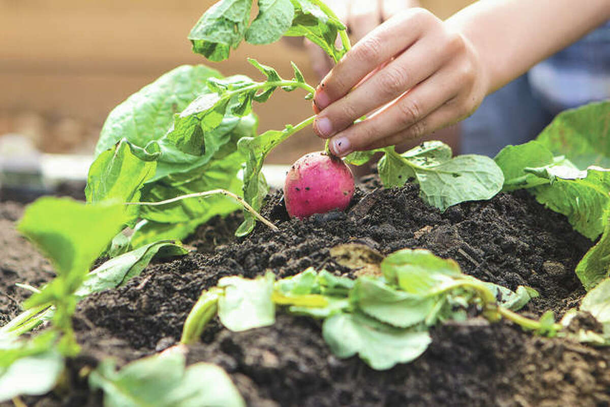 In Illinois, radishes are often winter killed, which cuts down on the need to terminate in the spring.