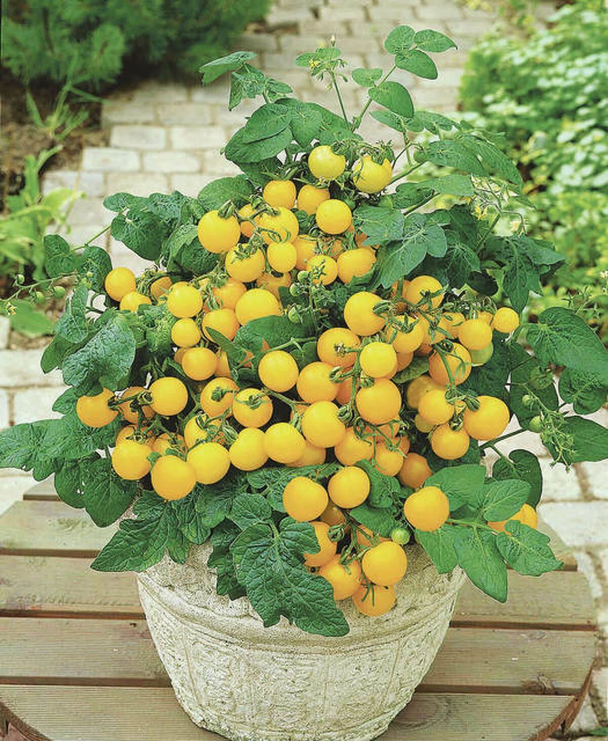 All-America Selections winner Patio Choice Yellow Sweet is a compact tomato variety meant for containers, patios or balconies.