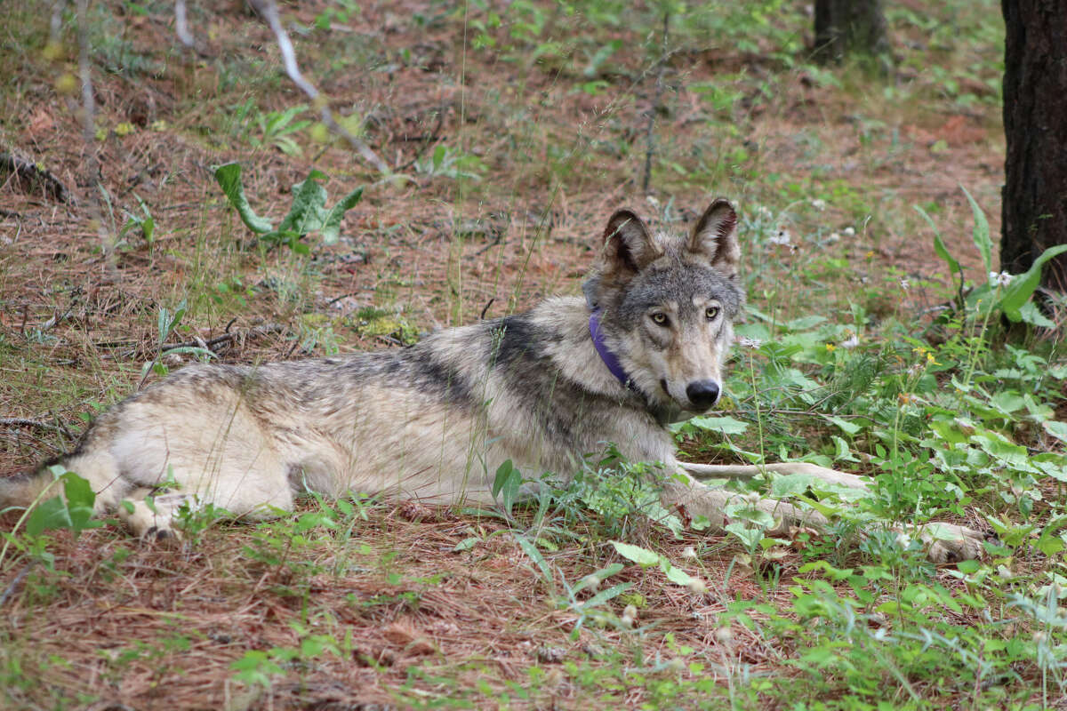 A photo of OR-93, a gray wolf seen in California, shared by the state's Department of Fish and Wildlife in February 2021.