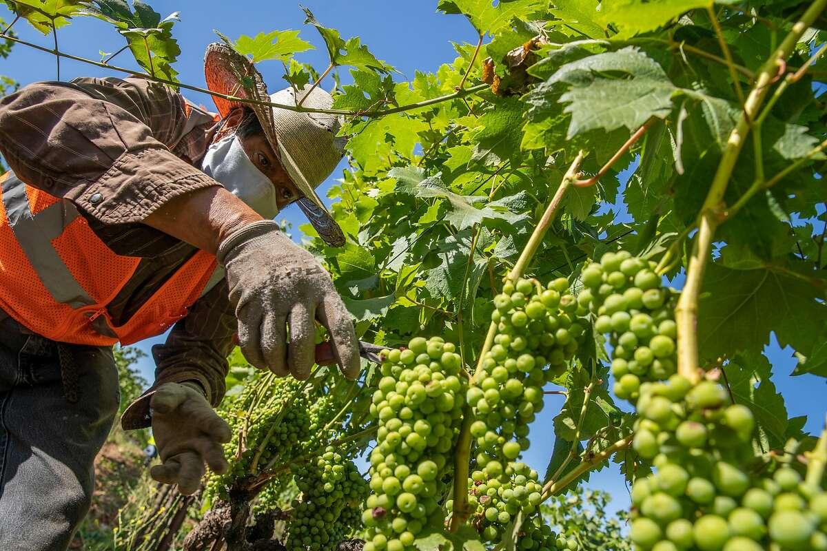Jaime Flores Ordaz of the Palo Alto Vineyard Management clears leaves in Glen Ellen.