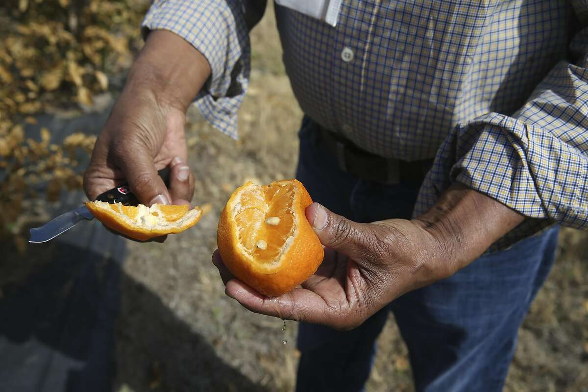 """The """"St. Valentine's Day massacre: That's how Texas Citrus Mutual President Dale Murden described the weather event. He said more than half of the grapefruit and oranges were unharvested when the storm hit."""