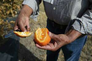 Mani Skaria, founder and CEO of U.S. Citrus, checks out damage done to W. Murcott mandarins at his farm in Hargill, Texas, Feb. 23.