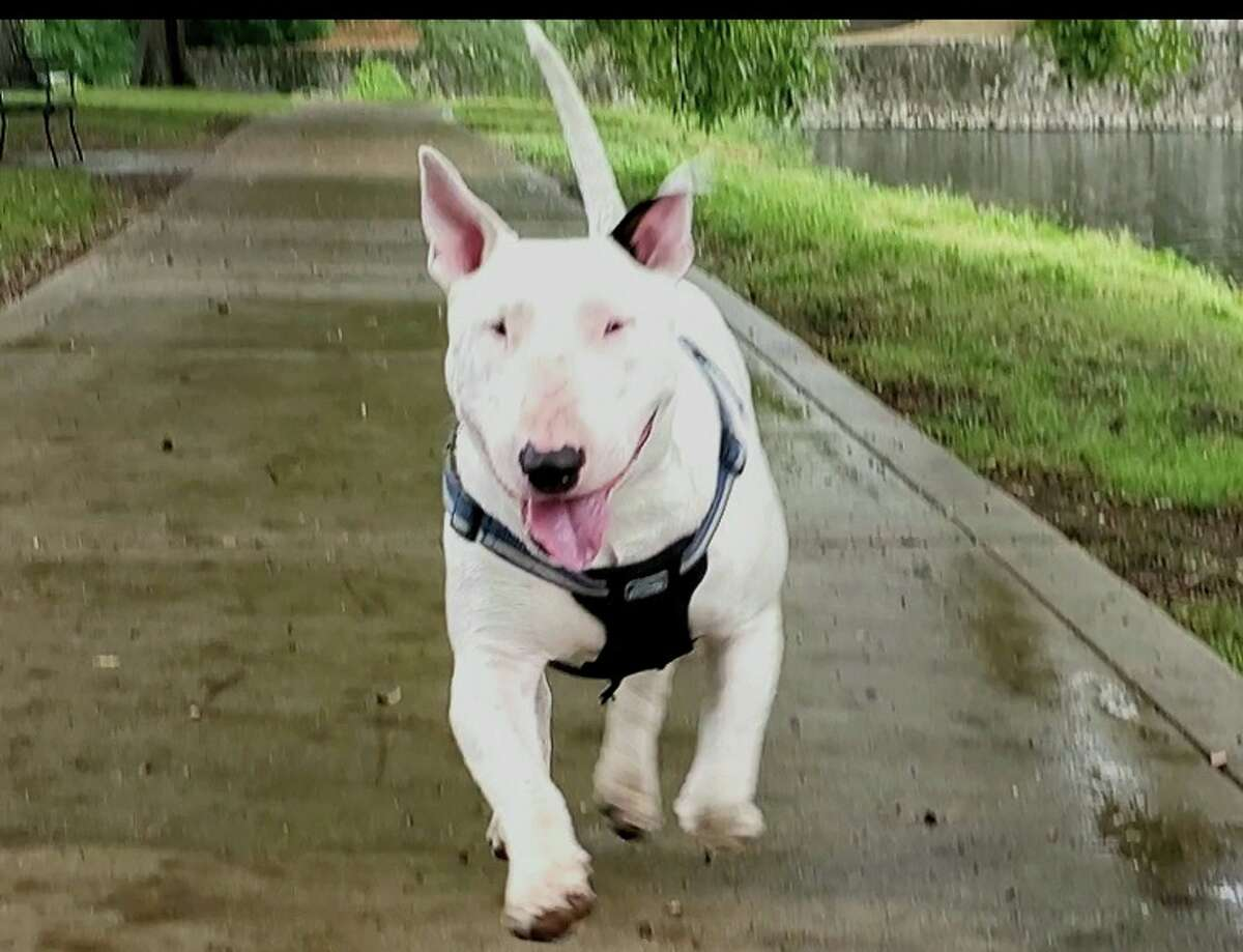 A local man is offering $10,000 to anyone who can help him find his 5-year-old service dog Golani.