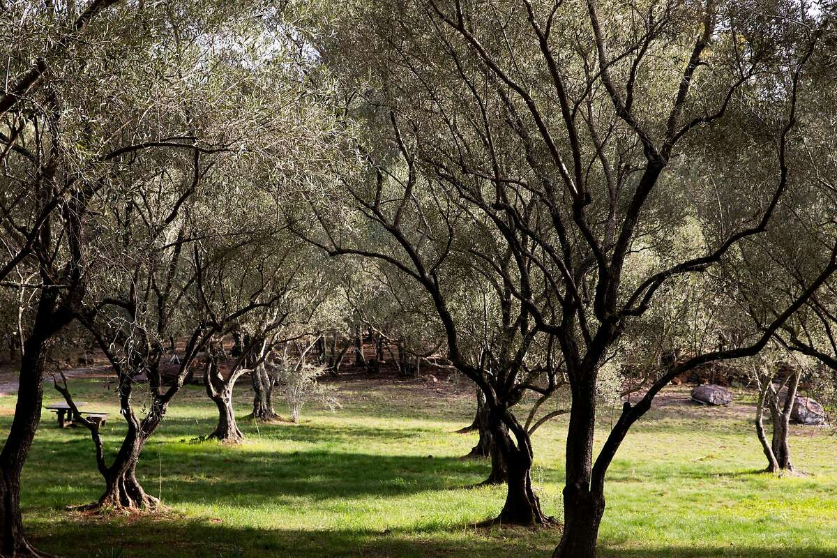 Olive trees are illuminated by the morning light on one of Grove 45's olive groves in St. Helena