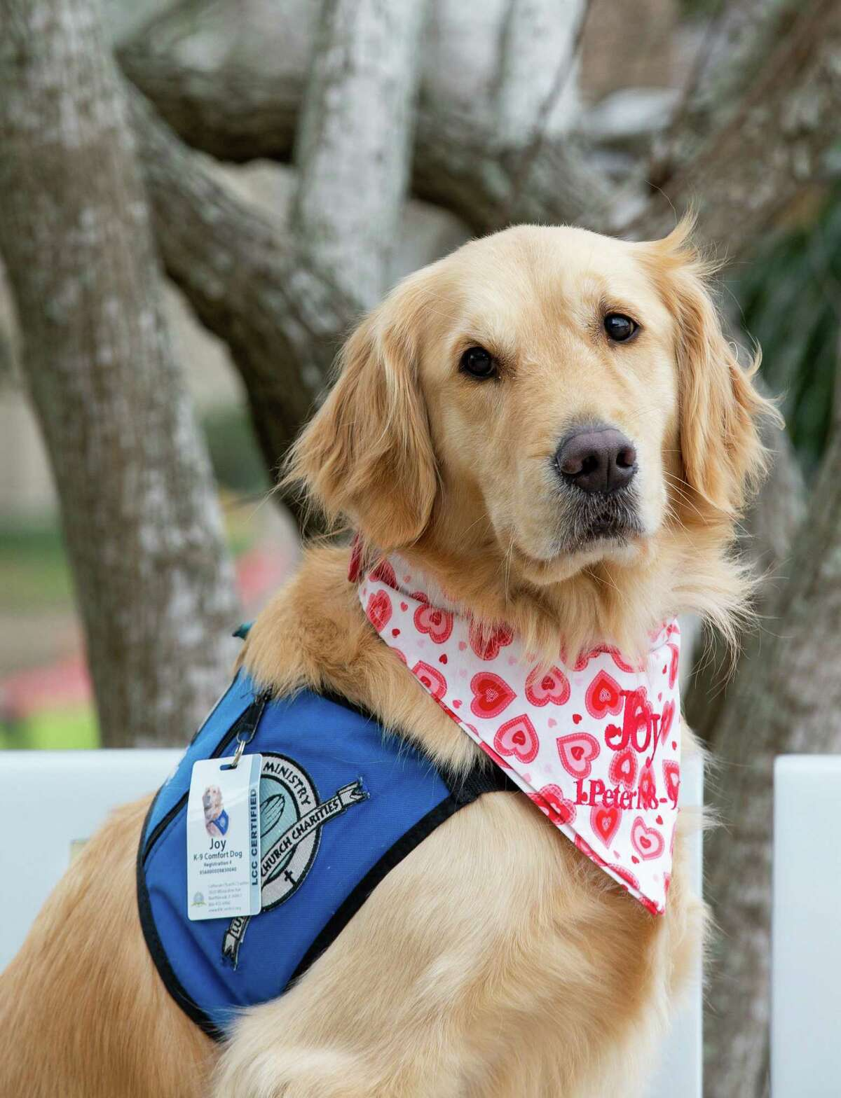 Joy the Comfort Dog, with Lutheran K-9 Ministry, poses for a photograph at HCA Healthcare Clear Lake on Monday, Feb. 8, 2021, in Webster, Texas.