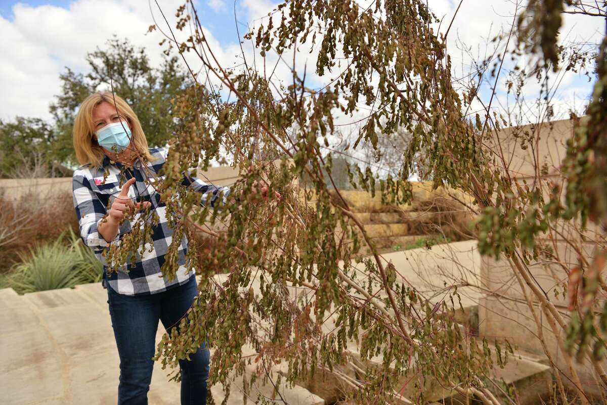 San Antonio Botanical Gardens CEO Sabina Carr examines a Pride of Barbados. It's unlikely many of these will re-sprout.
