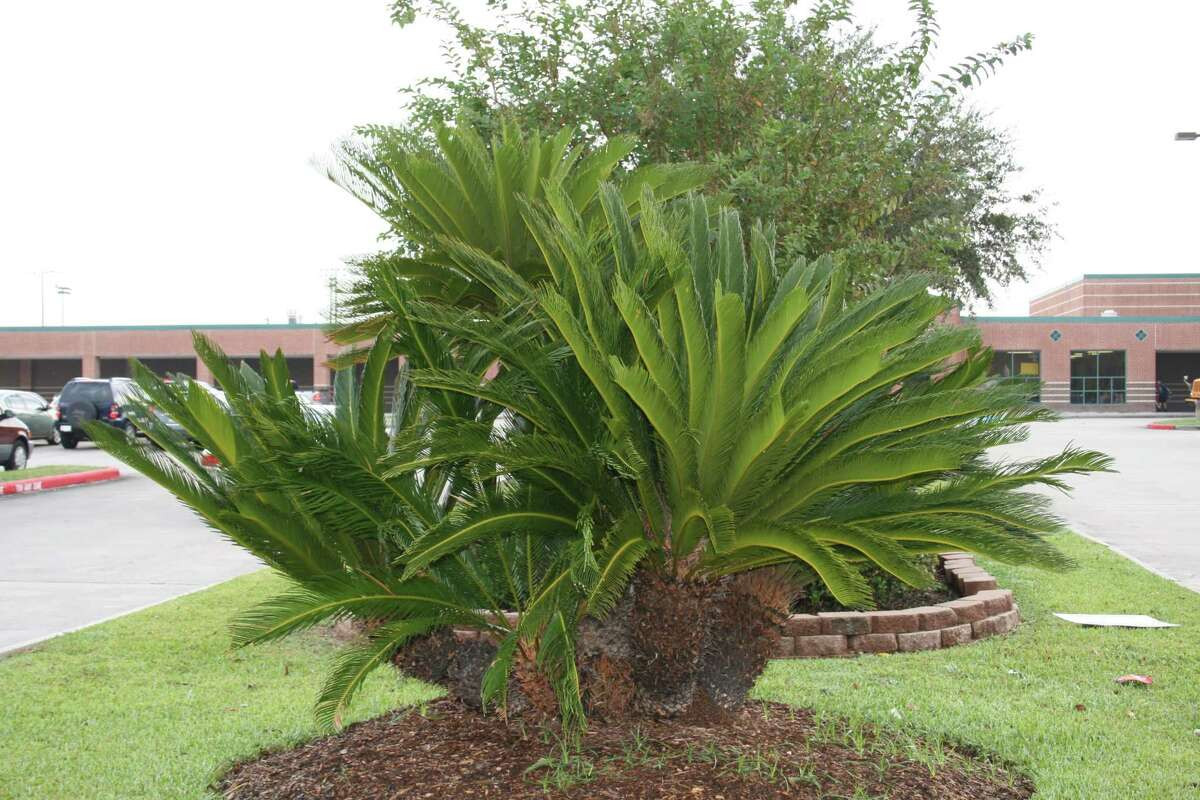 This is what a healthy sago palm should look like.