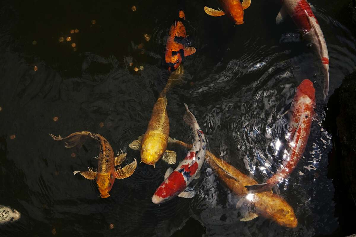 Koi ponds are common features in Japanese gardens.