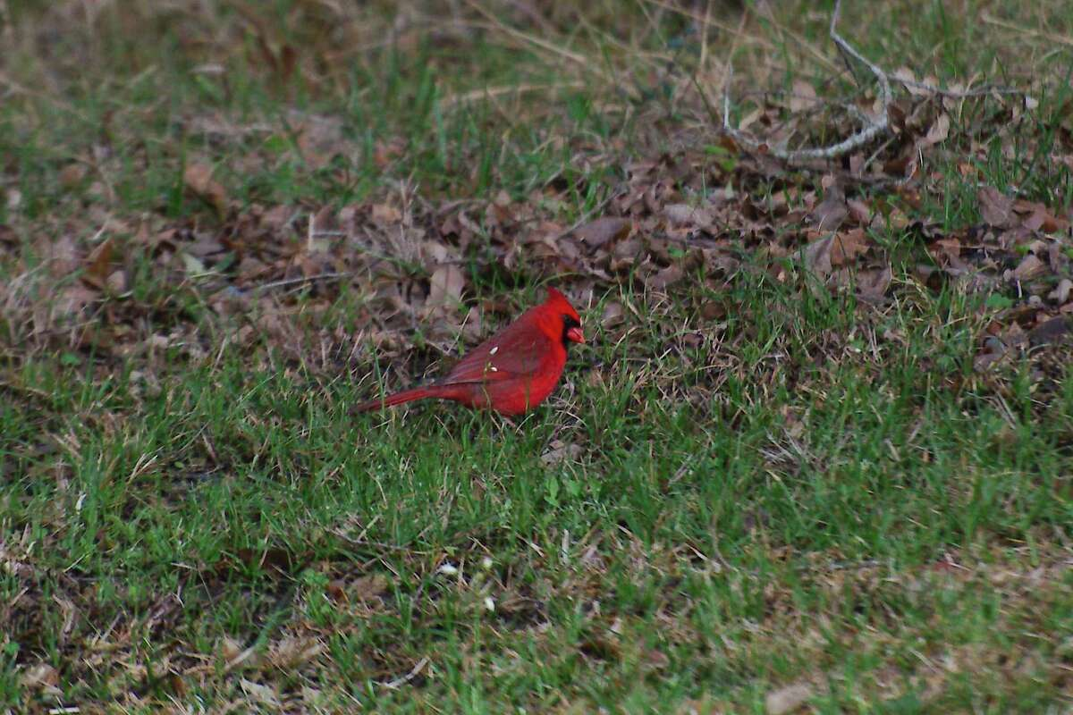Cardinals are an eye-catching species common in the region.