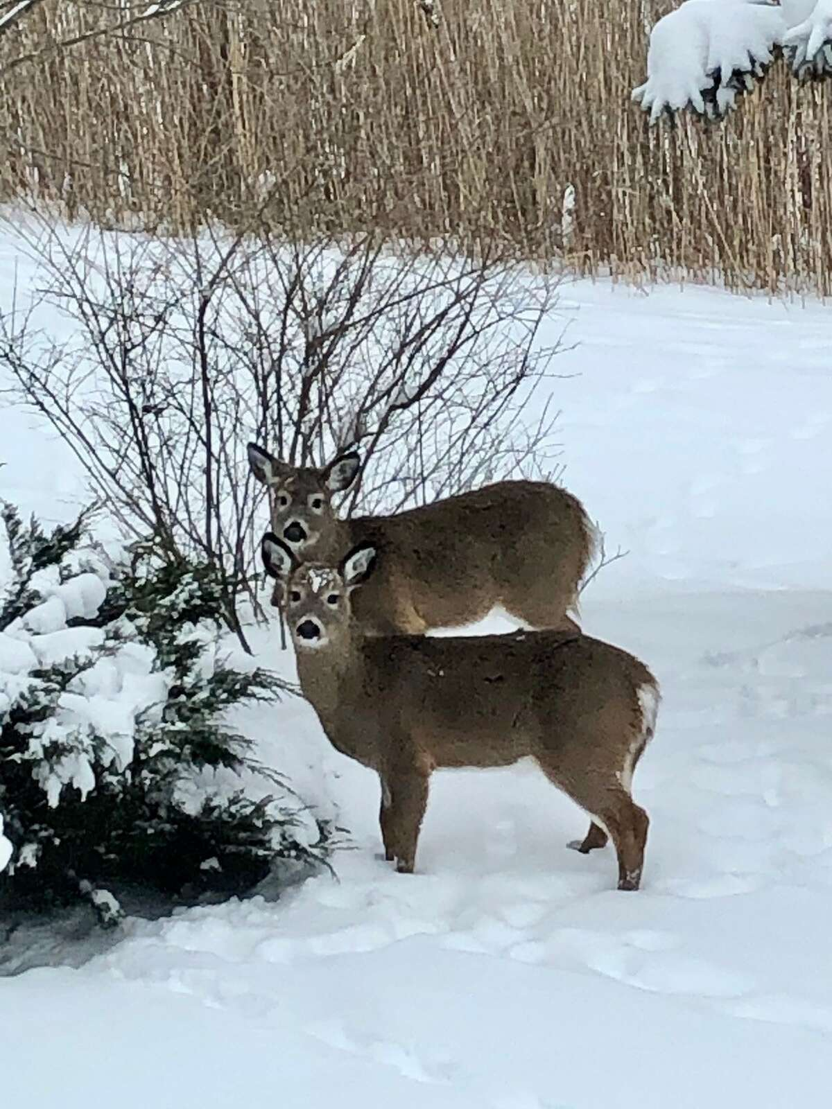"""Two deer get ready to munch on bushes at the Sheldon Hills development in Halfmoon. James Gray believes these are twins born last year. """"Momma was waiting nearby."""""""