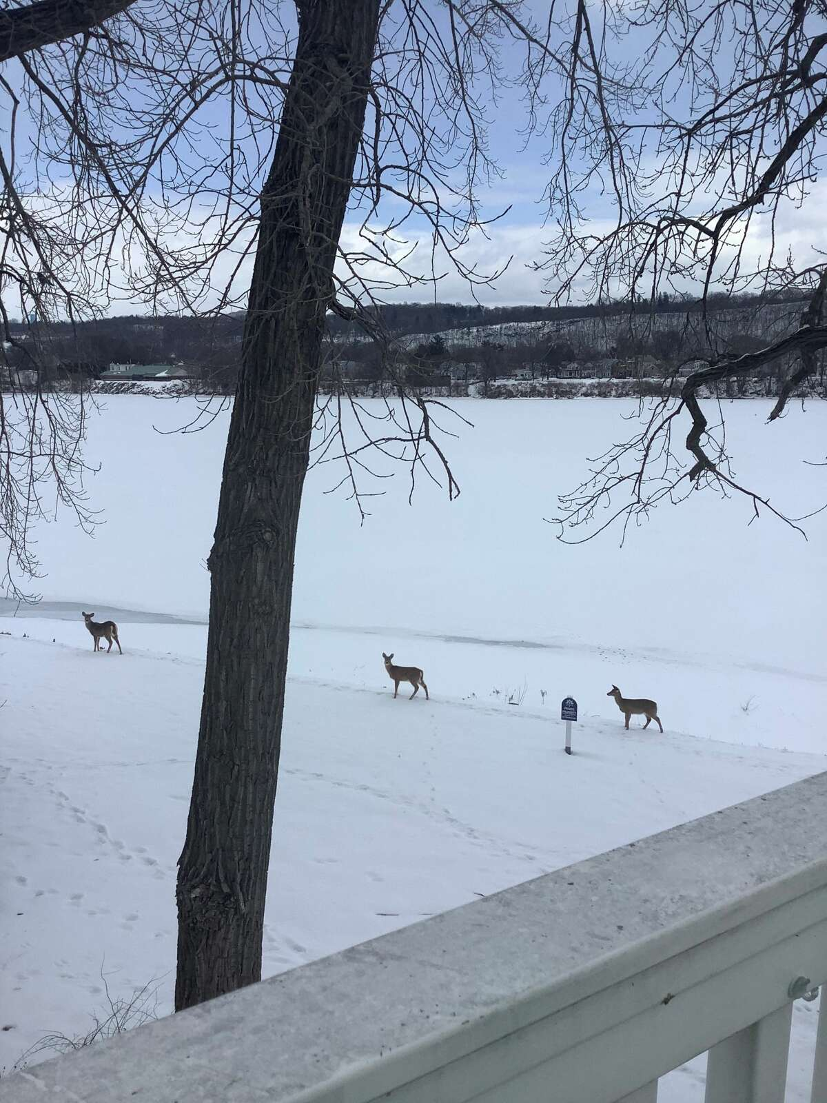 Deer return from their afternoon walk across the iced-over Hudson River to Green Island. This walk has occurred every afternoon this week around 4 p,m., says Jim Sheehan. Younger deer go first, walking widely apart, testing the ice. If they go all the way across, the older deer follow, he notes.