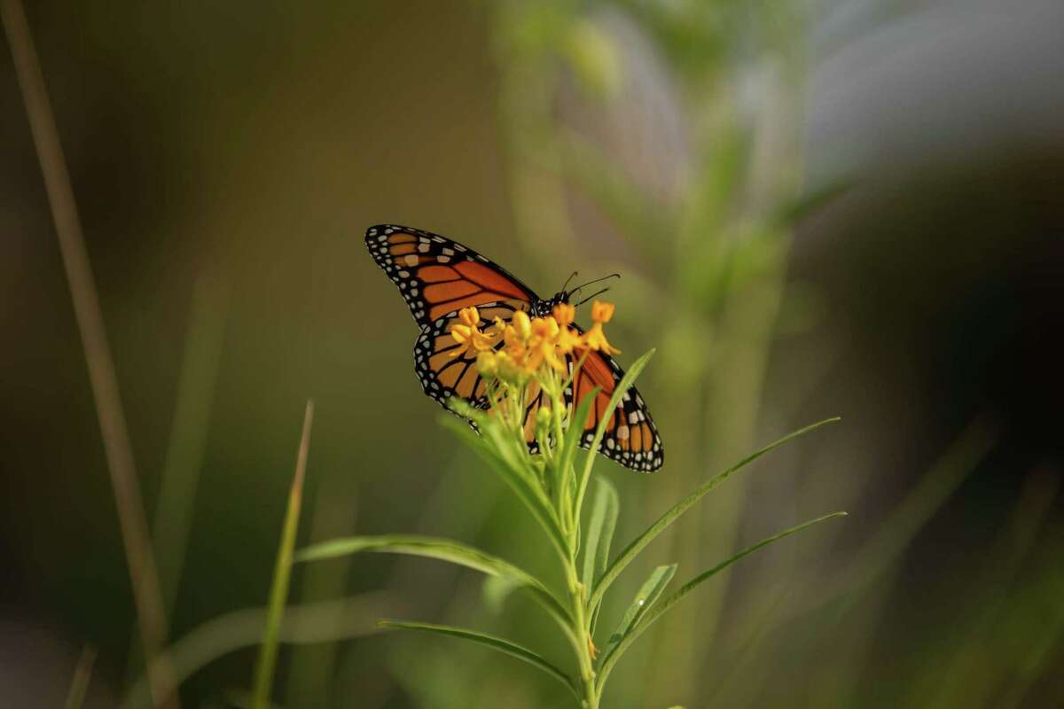 Blodgett Urban Gardens is home to a recognized Monarch Waystation where butterflies stop on their journey north. The flowers serve as a way to brighten up the garden and allow pollinators to help with the growth of the garden's crops.