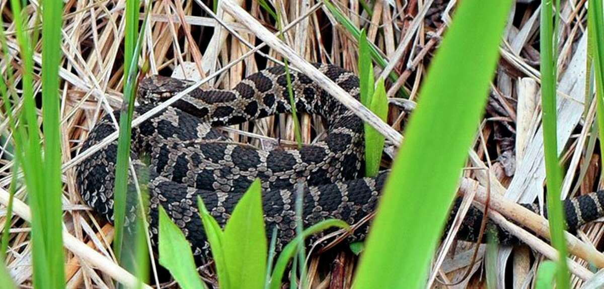 The eastern massassauga, a rattlesnake found locally is listed as threatened throughout its range. (Courtesy Photo/Abbey Kucera/U.S. Fish and Wildlife Service)