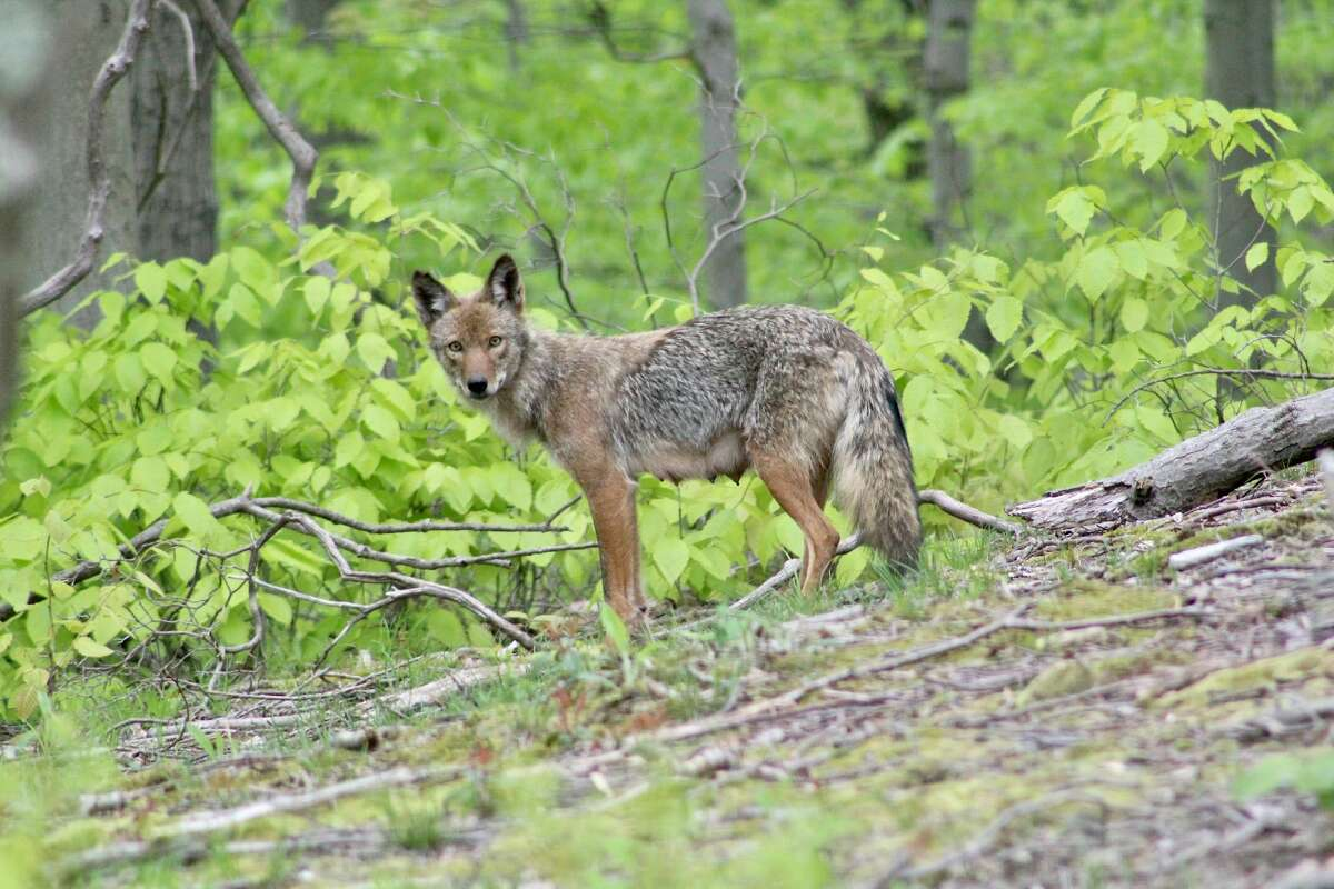 The Eastern coyote - the preferred term among scientists for what many in the Northeast call a