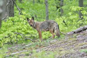 """The Eastern coyote — the preferred term among scientists for what many in the Northeast call a """"coywolf"""" — does indeed have two types of wolf in its genetic makeup."""