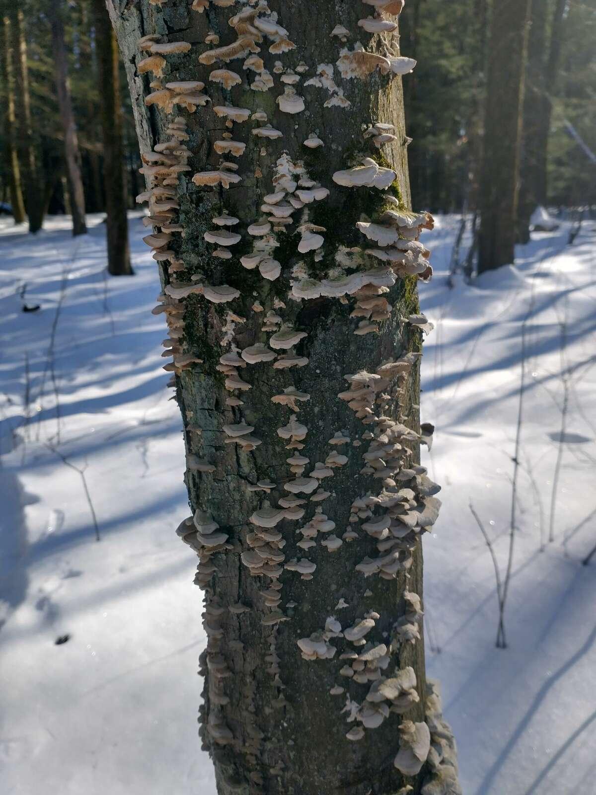 Fungus decorates a tree trunk at Lisha Kill Natural Area in Niskayuna.