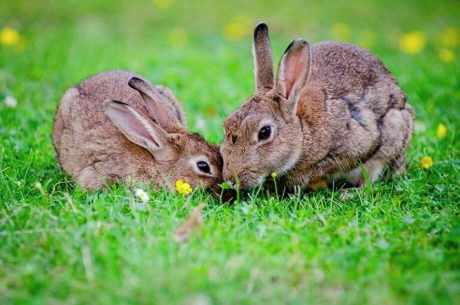 The rabbit hemorrhagic disease virus 2, or RHDV2, is highly contagious and almost always fatal. Although humans cannot contract the virus, it can still be spread through human-to-rabbit contact. (Courtesy photo/flickr.com)