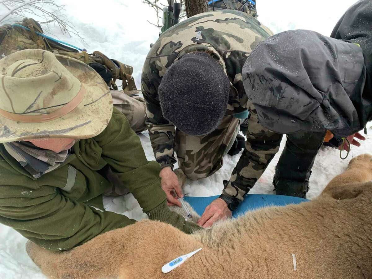 Contractors for the Idaho Department of Fish and Game show a member of the Michigan Department of Natural Resources' cougar team how to draw a blood sample from an immobilized cougar. From left, Sam Smith, Boone Smith and Matt Borg, all from the contractor's team. (Michigan Department of Natural Resources/Courtesy Photo)