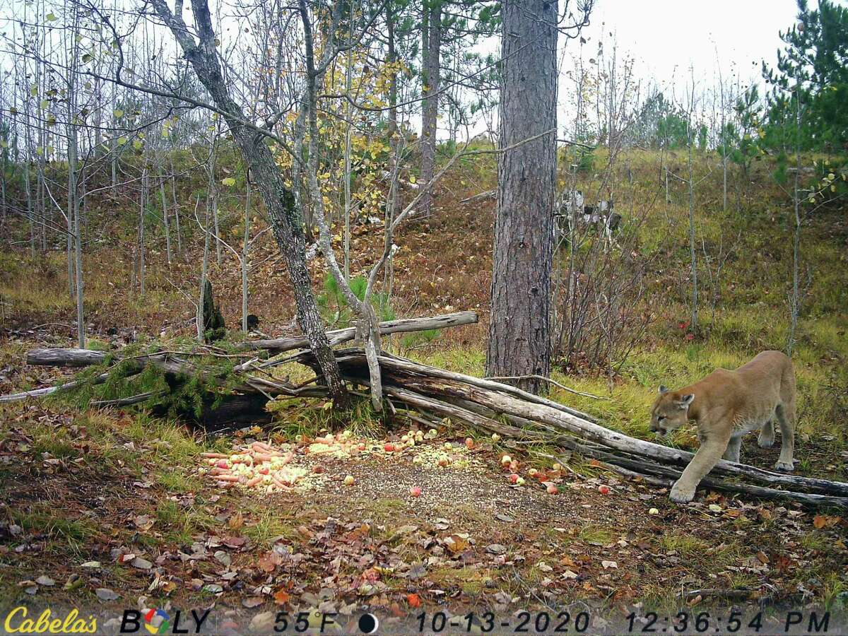 A cougar is captured by a trail camera at a deer baiting site in Mackinac County. (Michigan Department of Natural Resources/Courtesy Photo)