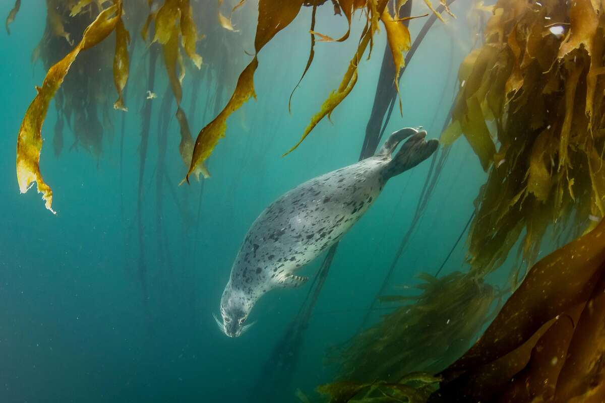 A harbor seal swims through a Kelp Forest in Noyo Harbor, Fort Bragg, California on Monday September 13, 2020.