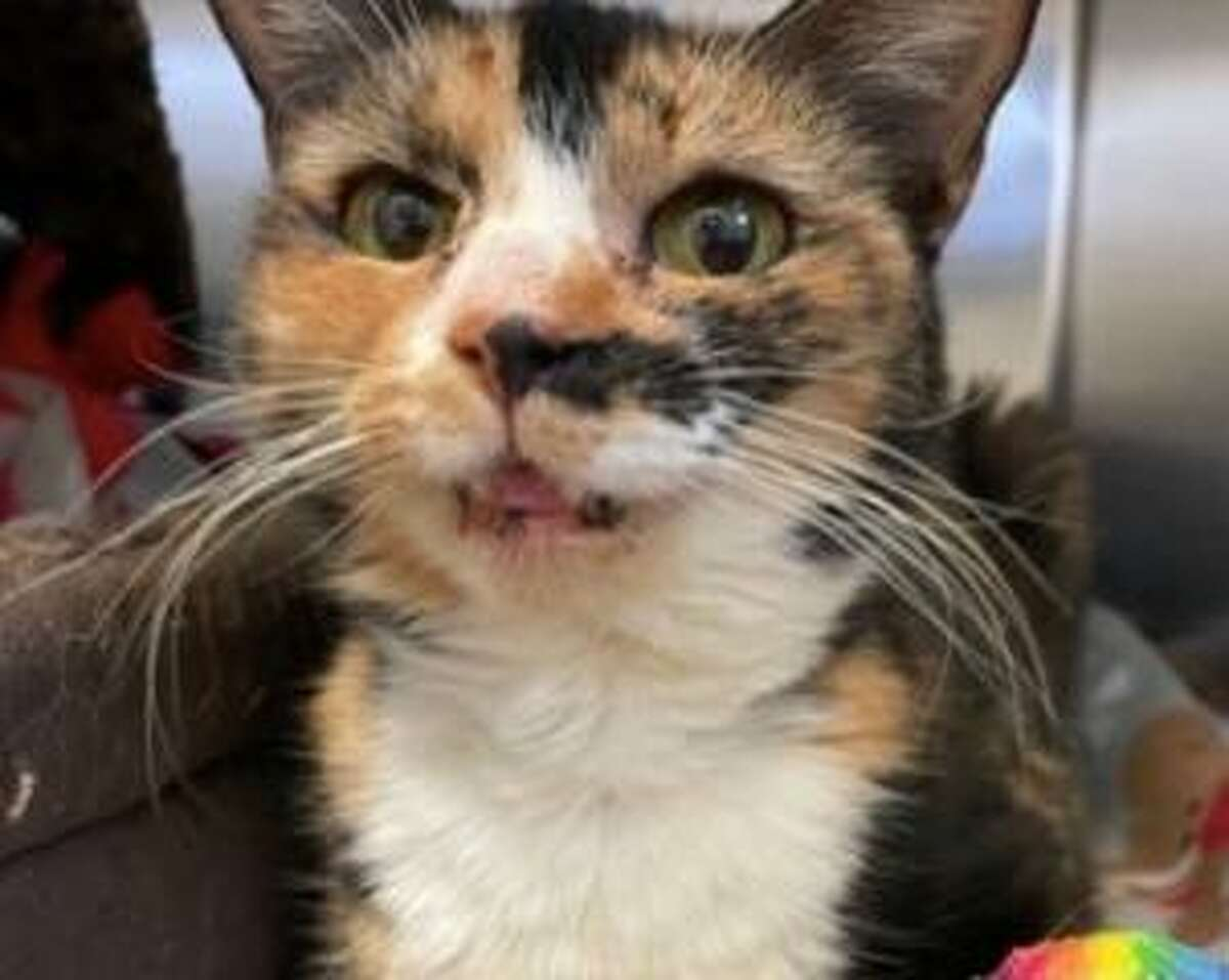 Tina, a cat, could use a house where she is the only pet, but this isn't a necessity at this time. She is available to meet by calling the ROAR Donofrio Family Animal Shelter, 45 South St. in Ridgefield, at 203-438-0158, for an appointment.