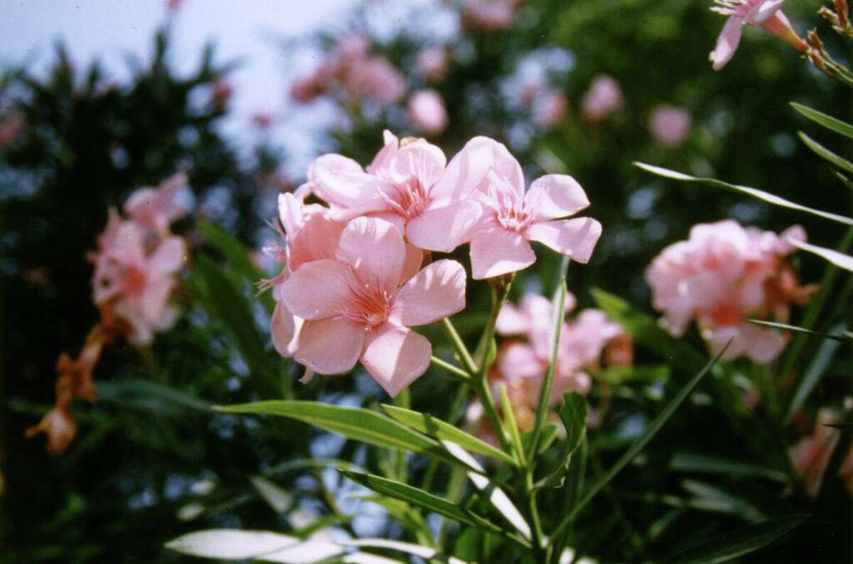 Oleanders are hardy evergreen shrubs that should be pruned in mid-March. New branches will grow from the ground.