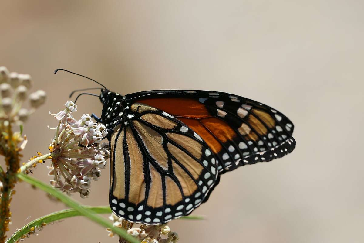 A monarch butterfly feeds on a narrow leaf milkweed.