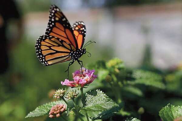 The number of western monarch butterflies has plummeted, putting the orange-and-black insects closer to extinction.