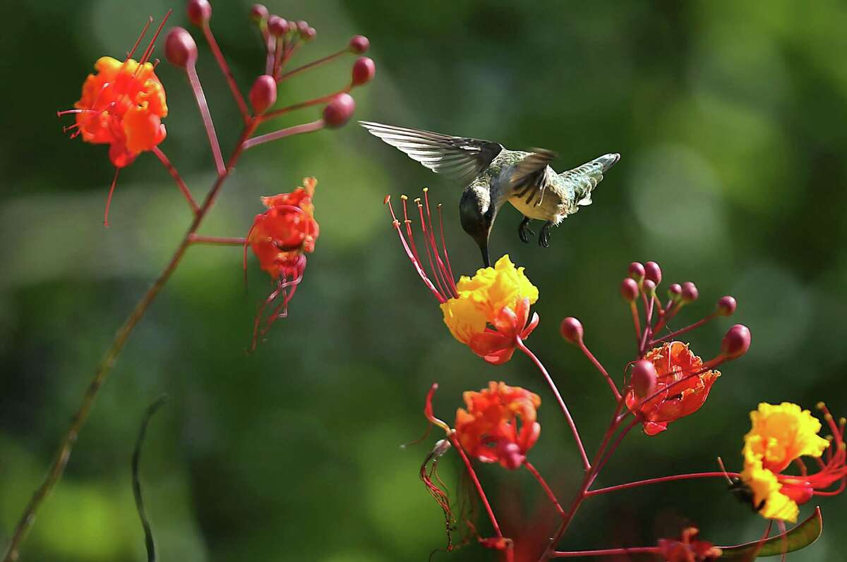 Hummingbirds are drawn to flowering bushes, like this one feeding on a Pride of Barbados. Calvin Finch says it's time to cut back Pride of Barbados to the ground and hope that the roots send out new shoots.