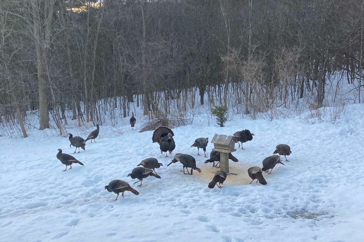 From Howard Jackson, Altamont: Part of a flock of about 30 turkeys that have been coming around for the past week.