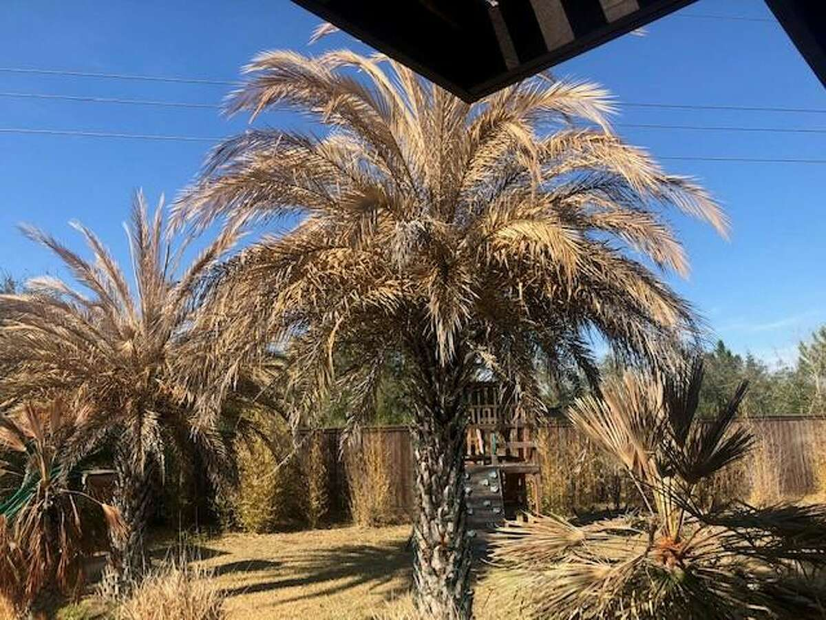 After Winter Storm Uri's fury two weeks ago, many homes have palms that look like this one. The large one, a silver date palm, experienced severe damage which may include death. The smaller Mexican fan palm has a chance of surviving.