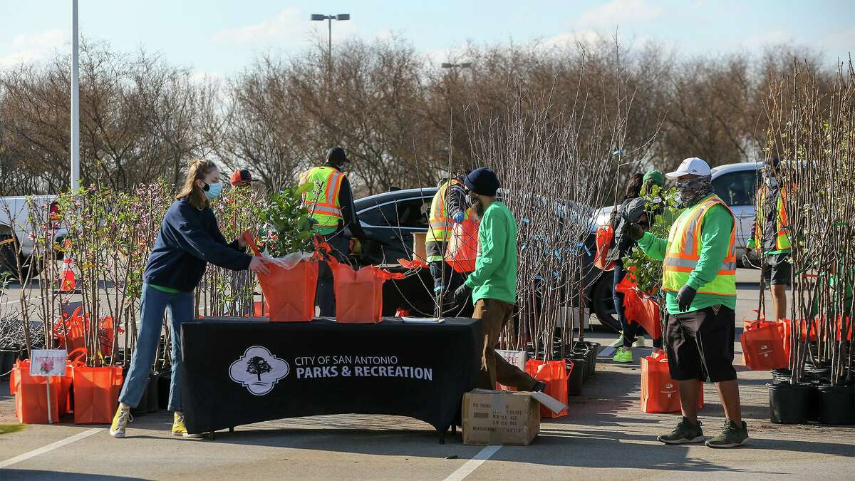 San Antonio Parks and Recreation's staff and volunteers line up some of the 600 fruit trees to be given away at Texas A&M San Antonio on Saturday, March 6, 2021. Available trees included lemon, fig, nectarine, apple, lime, pear and orange.