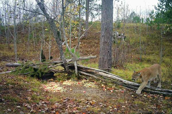 A cougar is captured by a trail camera at a deer baiting site in Mackinac County. (Courtesy Photo)
