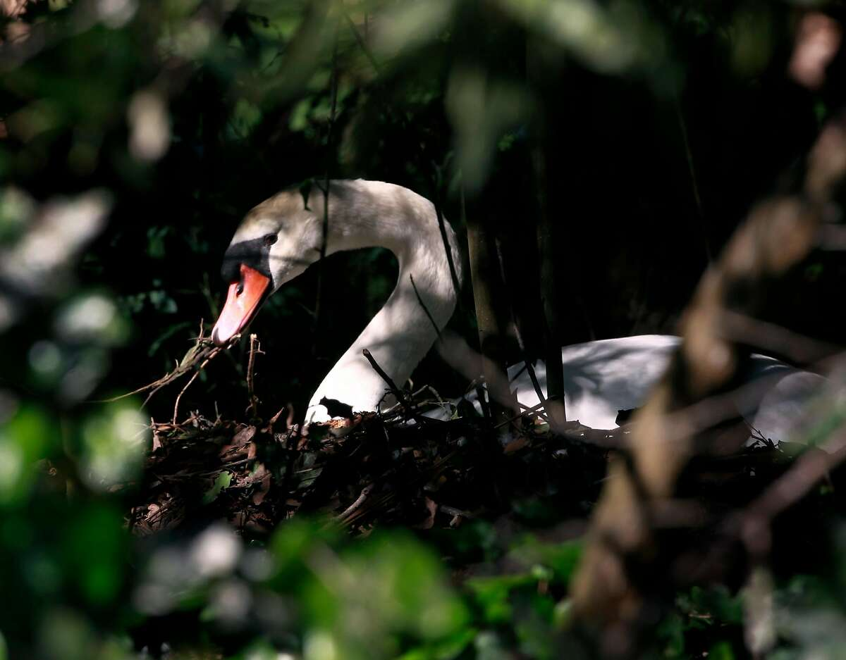 Blanche adjusts her nest on the island at the Palace of Fine Arts in San Francisco, Calif. on Wednesday, April 30, 2014. City park officials suspect Blanche fell ill recently after swallowing too many pennies cast into the Palace of Fine Arts' pond.