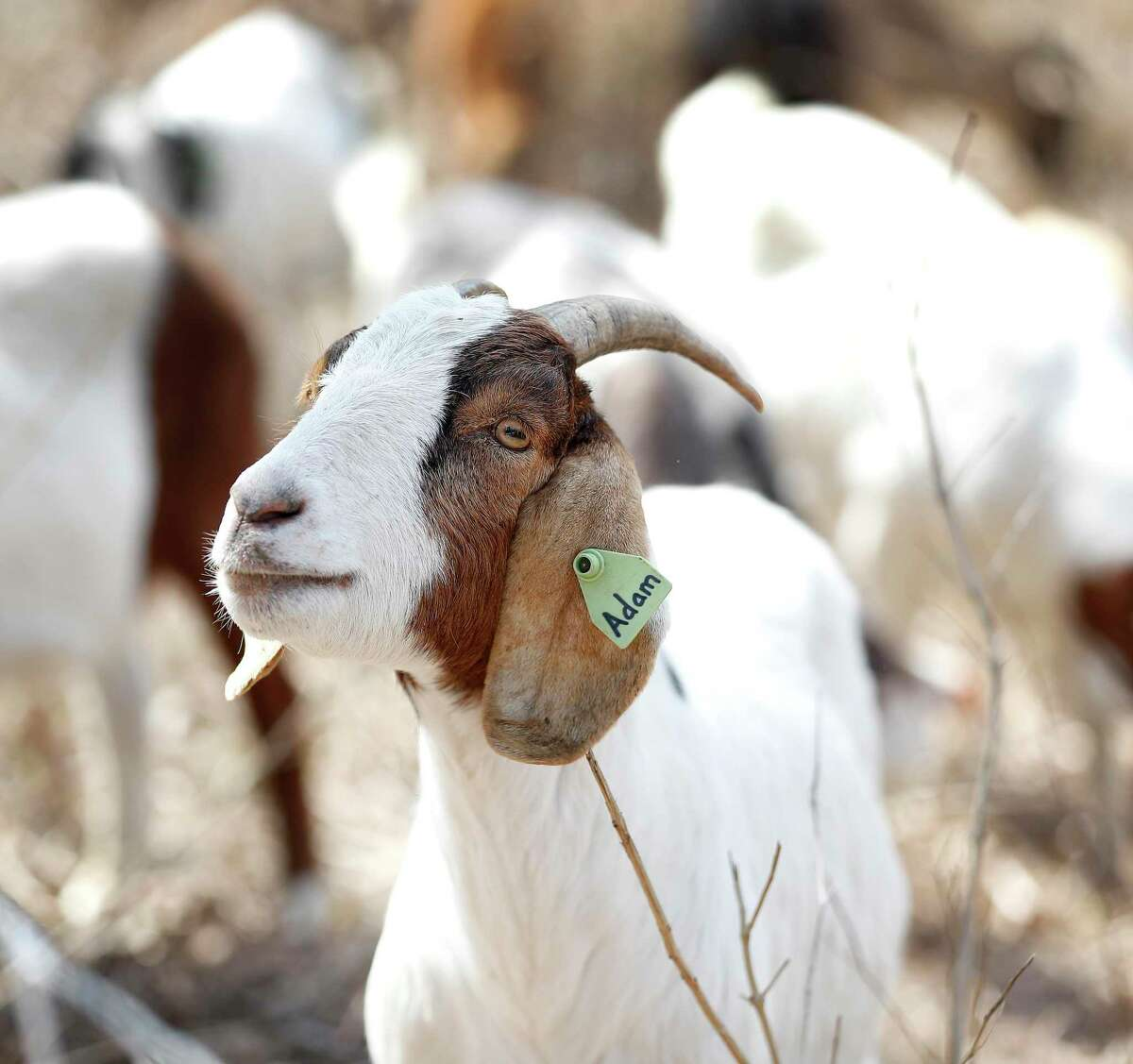 """Adam, one of the 142 goats from Rent-A-Ruminant Texas """"mow"""" the 2.6 acre Meadow area of the Houston Arboretum & Nature Center, Monday, March 8, 2021, in Houston. The goats, are grazing on many varieties of grasses and plants, and are an effective """"eco-friendly solution"""" to vegetation management that negates the need for commercial mowing and/or herbicides. The goats also had successful stints at the Arboretum in October and November of 2020, and will be on site working through Thursday."""