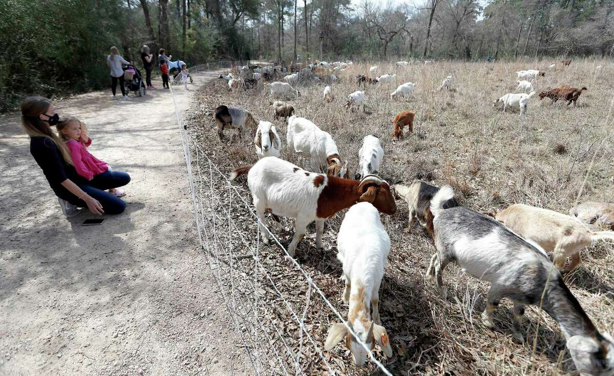 """People watch the goats from Rent-A-Ruminant Texas """"mow"""" the 2.6 acre Meadow area of the Houston Arboretum & Nature Center, Monday, March 8, 2021, in Houston. 142 goats, are grazing on many varieties of grasses and plants, and are an effective """"eco-friendly solution"""" to vegetation management that negates the need for commercial mowing and/or herbicides. The goats also had successful stints at the Arboretum in October and November of 2020, and will be on site working through Thursday."""