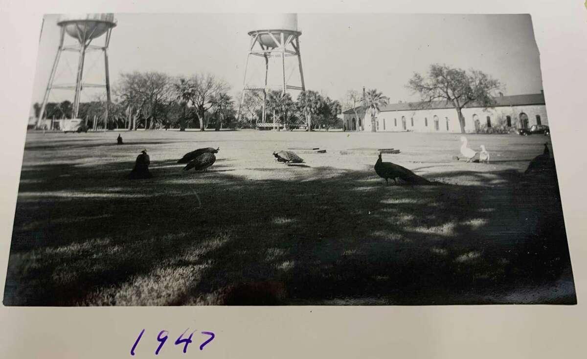 A photo marked 1947 of peafowl at the Joint Base San Antonio-Fort Sam Houston Quadrangle.
